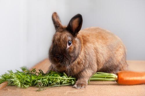 Recomendaciones para la dieta del conejo enano