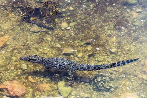 Enanismo insular: cocodrilo cubano