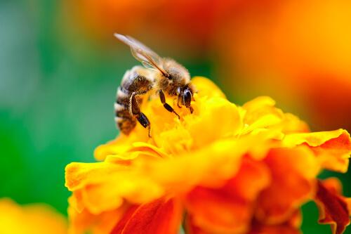 Flores que atraen abejas: caléndula