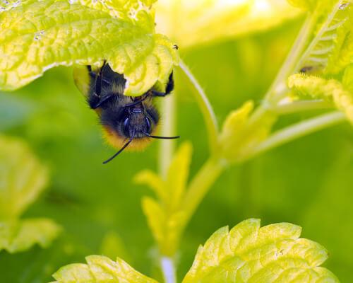 Flores que atraen abejas: melisa