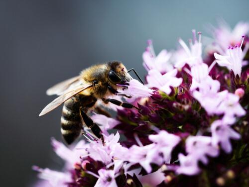 Flores que atraen abejas: orégano