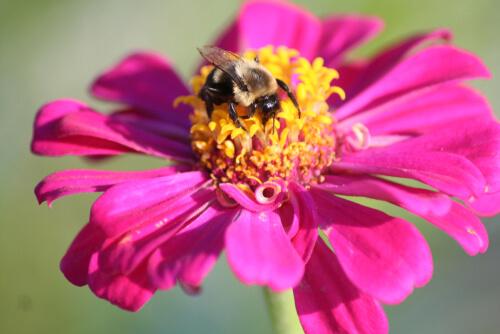 Flores que atraen abejas: zinnia
