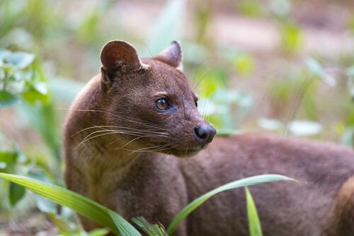 La fosa, el depredador más extraño de Madagascar