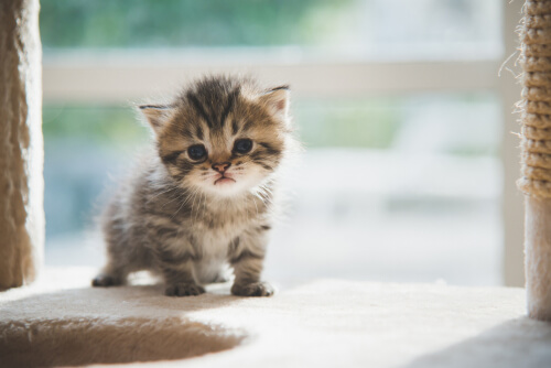 Gato pequeño.