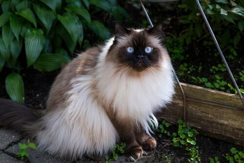 Gato himalayo: carácter