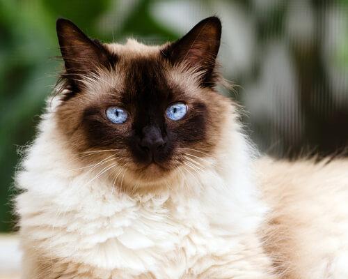 El gato himalayo: entre persa y siamés