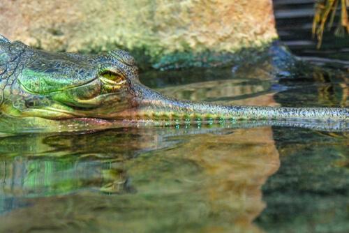 El gavial o cocodrilo de hocico delgado