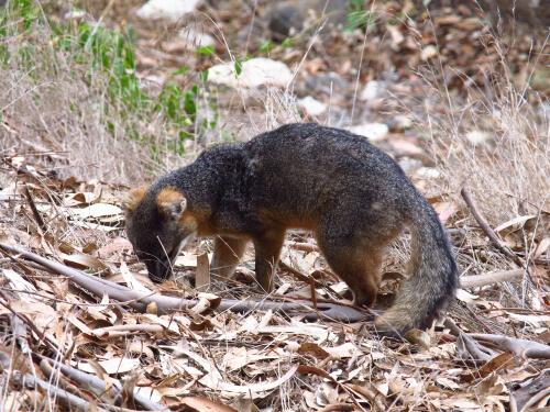Gigantismo y enanismo insular: zorro isleño