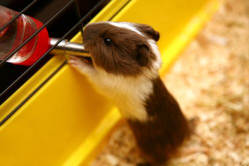 La hidratación de los roedores