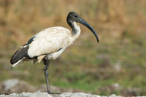 Curiosidades del ibis sagrado