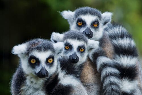 Lémur de cola anillada: características, comportamiento y hábitat