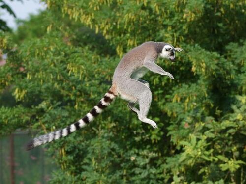 Lémur de cola anillada: comportamiento