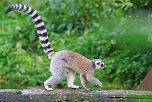 Lémur de cola anillada: hábitat