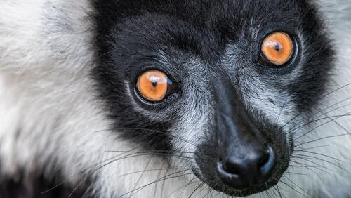 Lémur de collar: características, comportamiento y hábitat