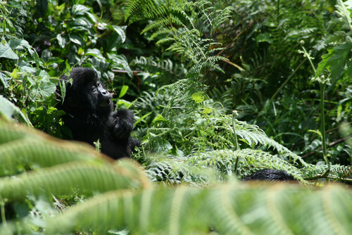 Luto en gorilas