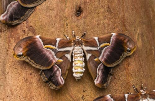 Mariposa del gusano de seda del ricino