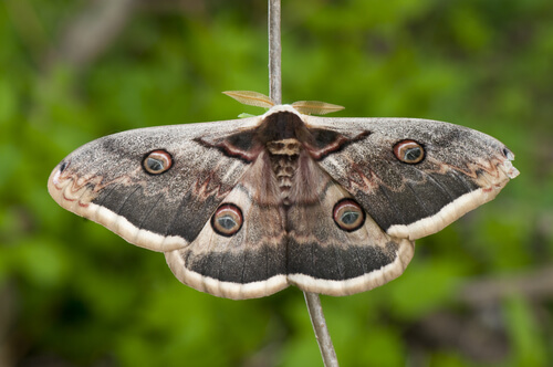 Mariposa gran pavón