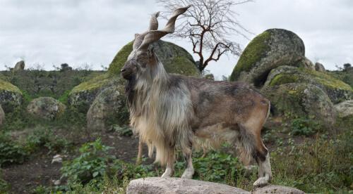 El markhor: la cabra con grandes cuernos