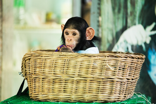 Mascotismo con chimpancés