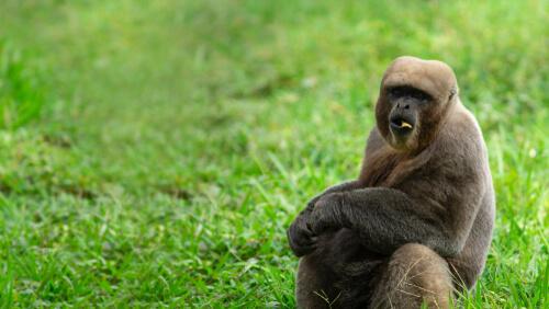 Mono lanudo gris: características, comportamiento y hábitat