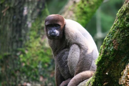 Mono lanudo gris: comportamiento