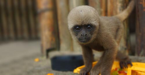Mono lanudo gris: hábitat