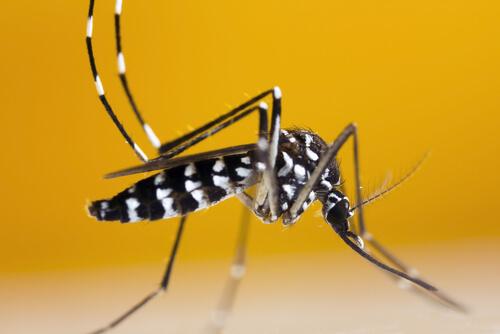 El mosquito tigre en Francia: ¿cómo reconocerlo?