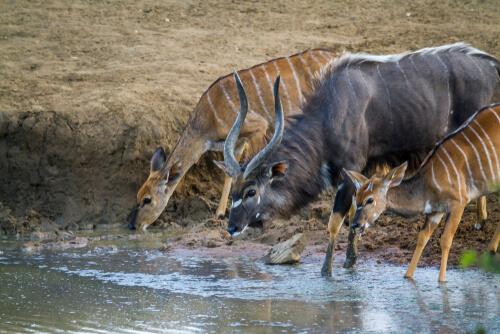 Niala: hábitat