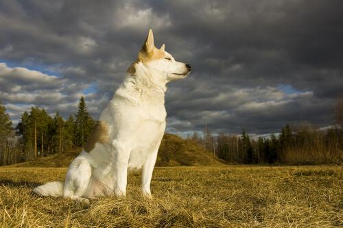 Norrbotten spitz: características