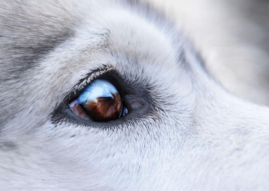 Perros y verrugas alrededor de los ojos: tratamientos