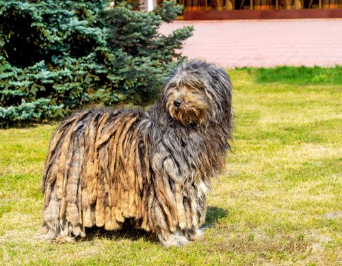 Pastor de Bérgamo: un perro que conduce y cuida los rebaños