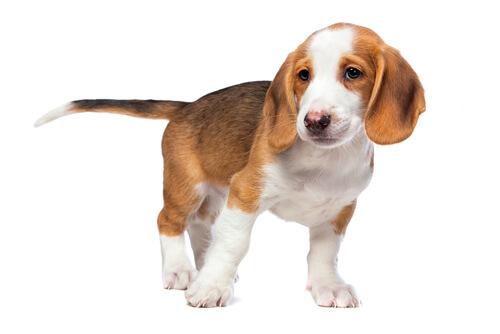Perro tejonero de Westfalia: comportamiento