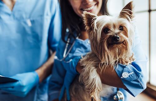 Perro tratado de hiperadrenocorticismo