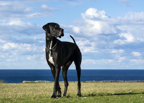 5 razas de perros grandes