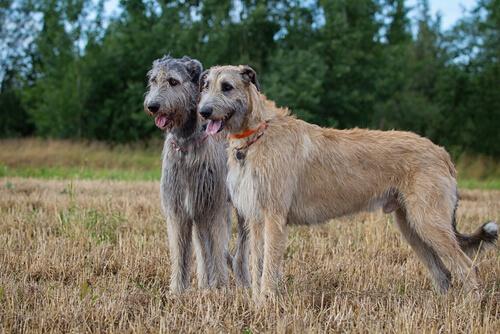 Perros grandes: lobero irlandés