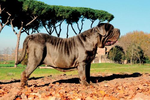 Perros grandes: mastín napolitano