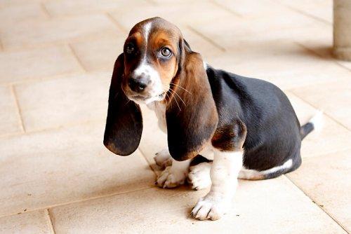 Perros con orejas grandes
