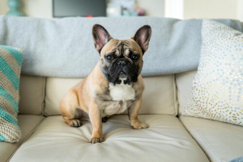 Bulldog francés, uno de los perros pequeños, en el sofá