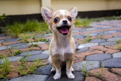 Uno de los perros pequeños es el chihuahua