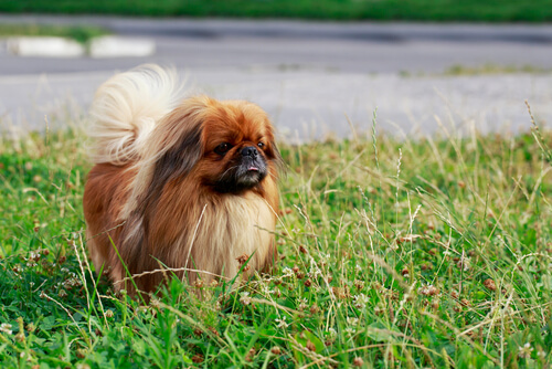 Perros pequeños: pequinés