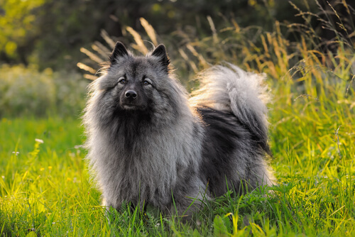 Perros spitz alemán lobo