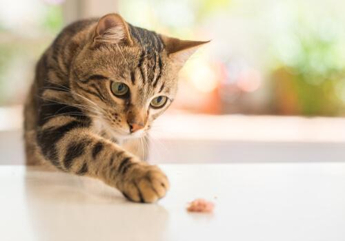 Restaurar el equilibrio intestinal de mi gato