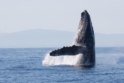 Las ballenas usaban las mismas rutas migratorias hace 270 000 años