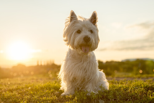 Terrier blanco del altiplano occidental: alimentación y características