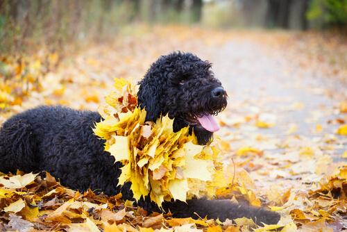 El terrier ruso negro: un excelente perro guardián