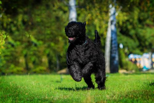 Terrier ruso negro: salud