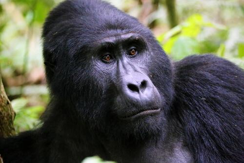 Titus, el rey gorila