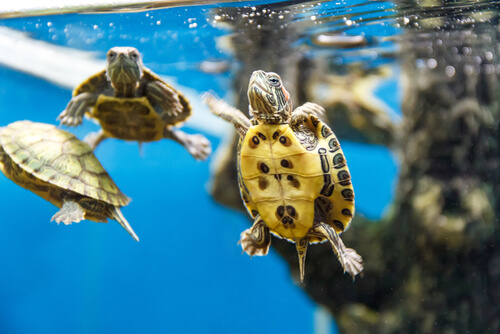 Tortugas nadando