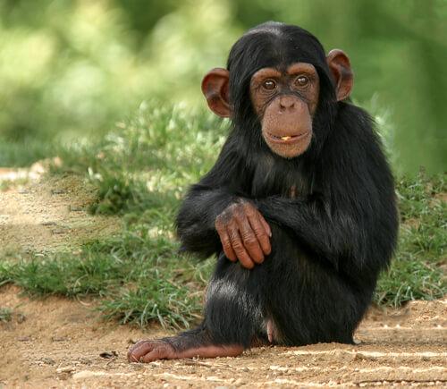 Vídeos virales de un chimpancé