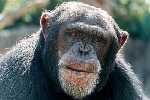 Alzheimer en primates